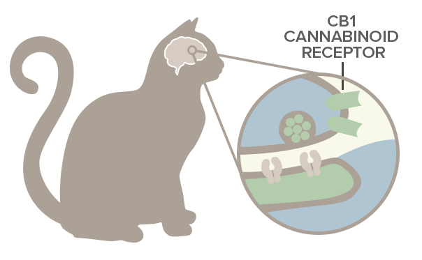cannabinoid receptors in cat's body