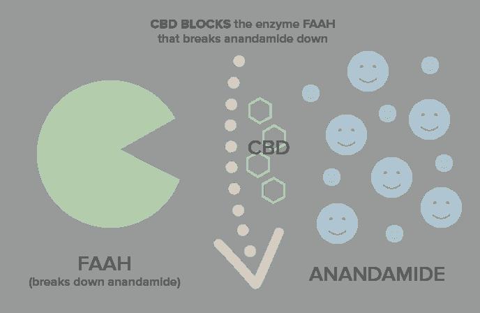 CBD blocking FAAH
