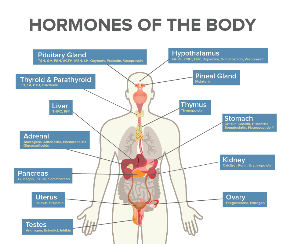 major endocrine glands and hormones they produce