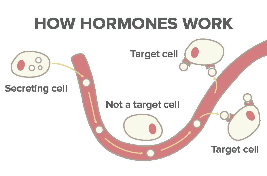how do hormones work