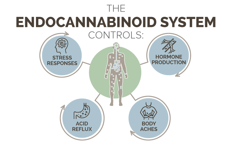 What Endocannabinoid System Controls